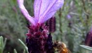 Macro Monday: bees on lavenderflowers