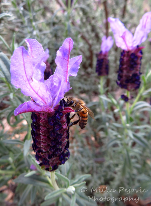 Bee collecting nectar on a lavender bloom