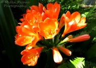 Floral Friday Fotos: Clivia Miniata (Bush Lily)