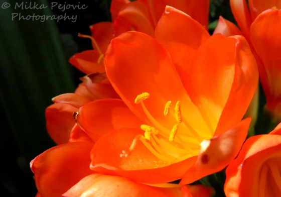Macro of an orange bush lily (Clivia Miniata)