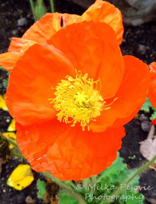 Orange poppy flower