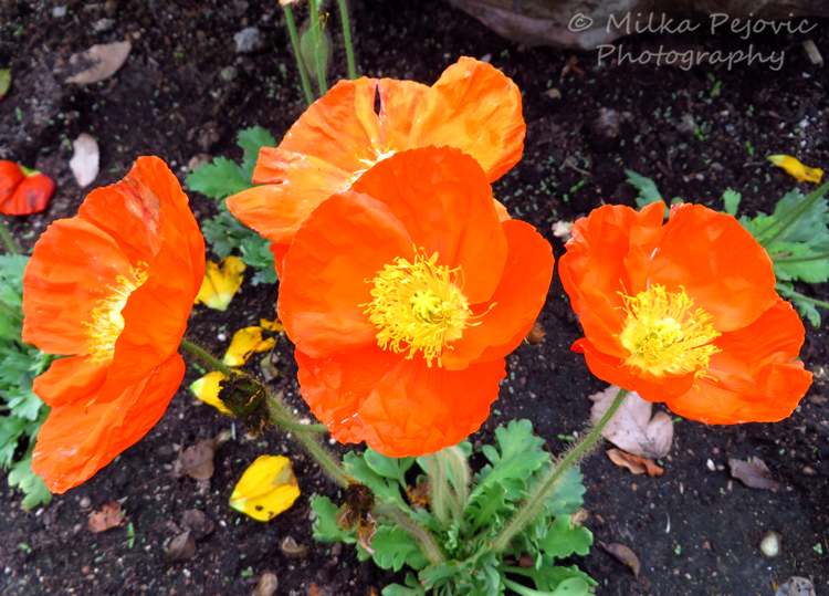 Cee's Fun Foto Challenge: the color orange - California poppies