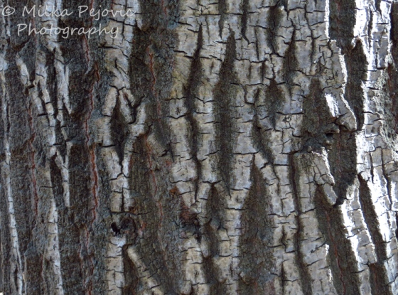 Cee's Fun Foto Challenge: Texture of tree bark