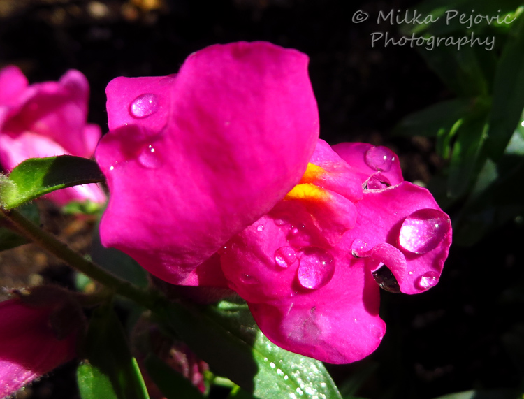 Bright pink snapdragon flower