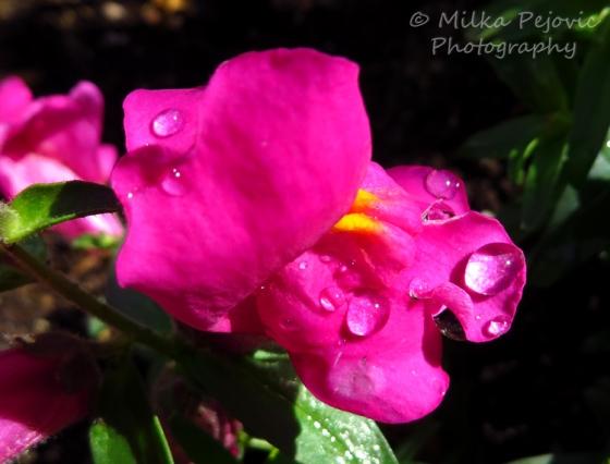 Bright pink snapdragon flower