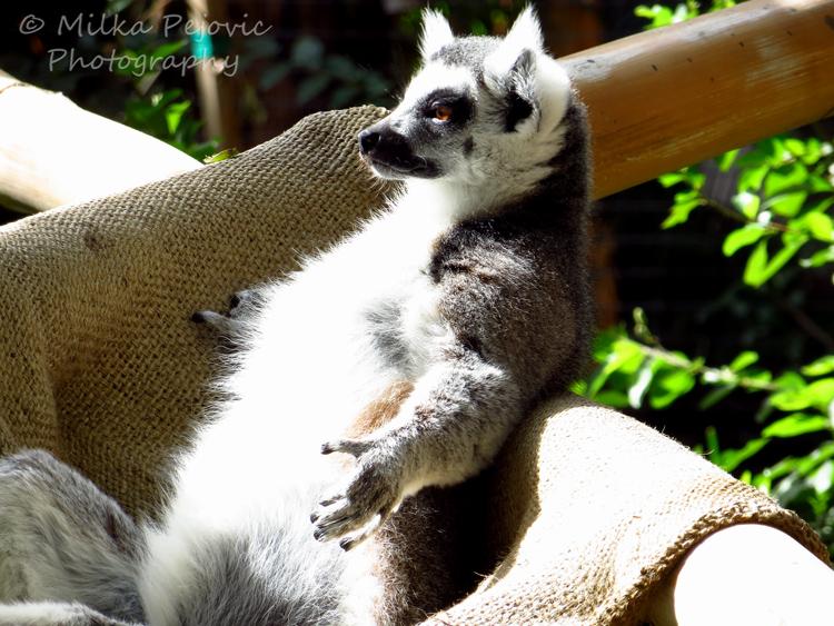 Texture of a lemur's fuzzy fur
