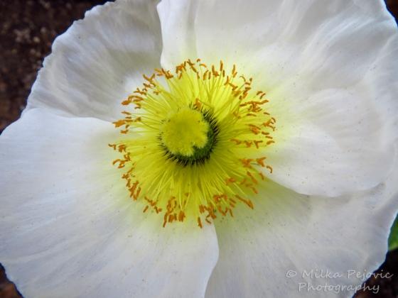 Macro Monday: center of a white poppy