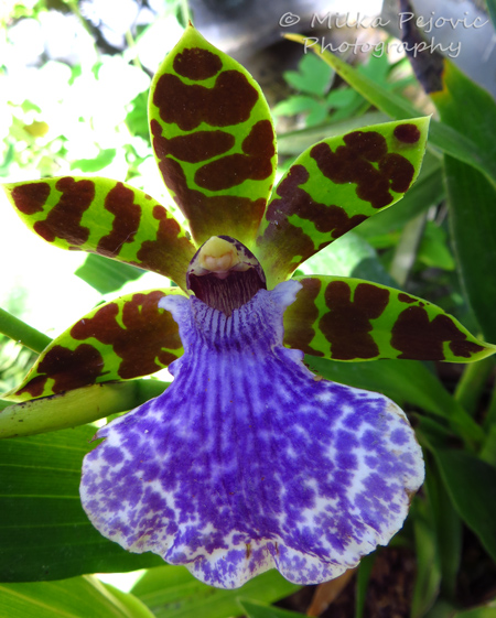 Orchid with green and brown petals, and one large purple petal