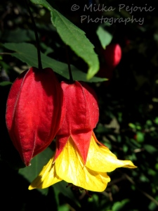 Red and yellow bell-shaped flower of the Abutilon