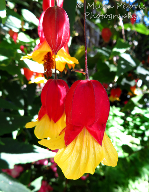Macro Monday: Abutilon Megapotamicum