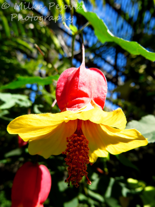 Close-up of the Abutilon Megapotamicum red and yellow blooms