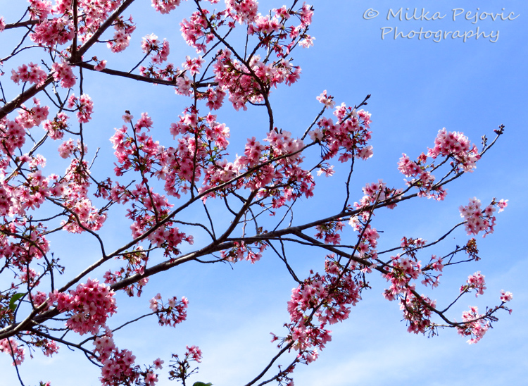 Floral Friday Fotos: my first cherry blossoms