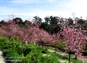 Cherry blossoms at the San Diego Japanese Friendship garden in Balboa Park
