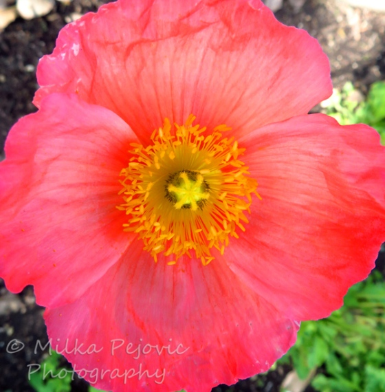 Pink poppy flower in bloom