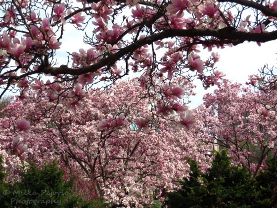 Tulip tree blossoms - pink magnolia blooms