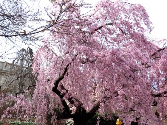 Weeping cherry blossom tree
