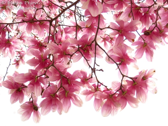 Pink magnolia blossoms/ tulip tree in bloom