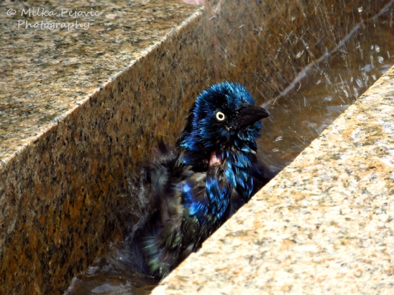 Iridescent male common grackle taking a water bath