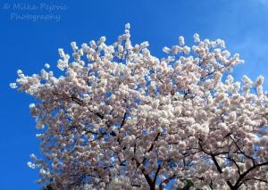 White cherry blossoms in Washington DC