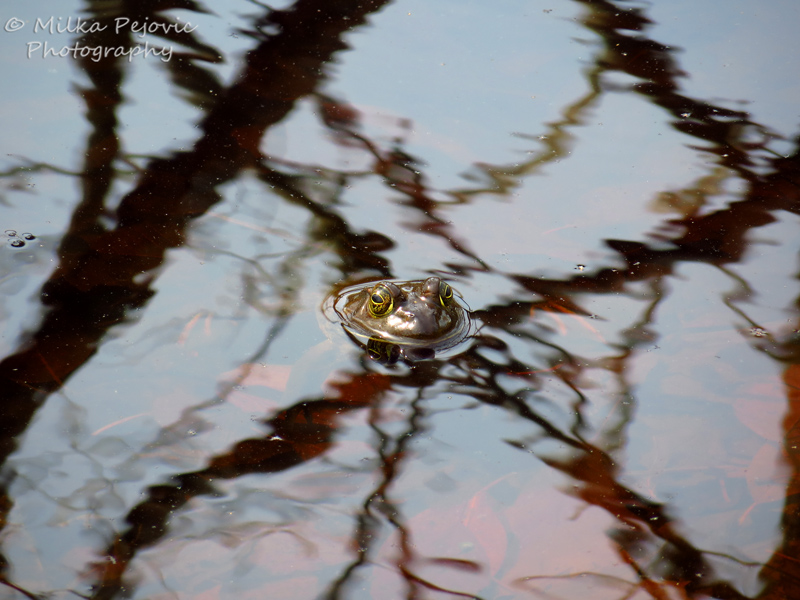 Frog's head out of the pond water