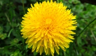 Macro Monday: dandelion in bloom and inseed