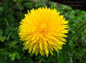 Macro Monday: yellow dandelion in bloom