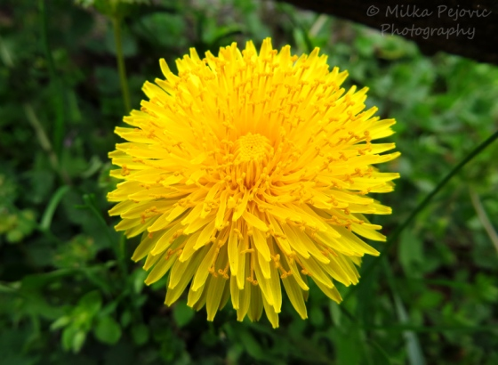 Macro Monday: yellow dandelion in bloom