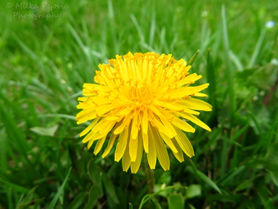 Macro of a dandelion in bloom