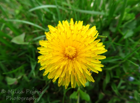 Close-up of a yellow dandelion with curled-up pistils
