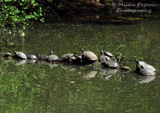 Turtles basking in the sun on rocks in the pond