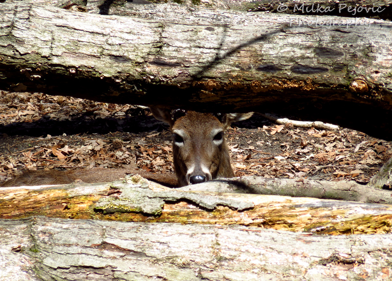 Deer hiding between tree trunks