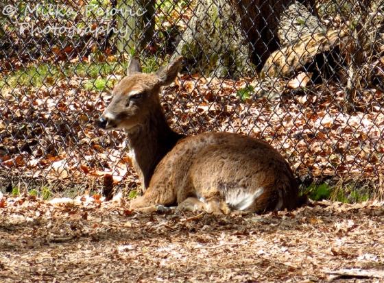 Deer camouflaged in leaves