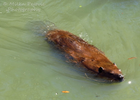 Beaver swimming in the water