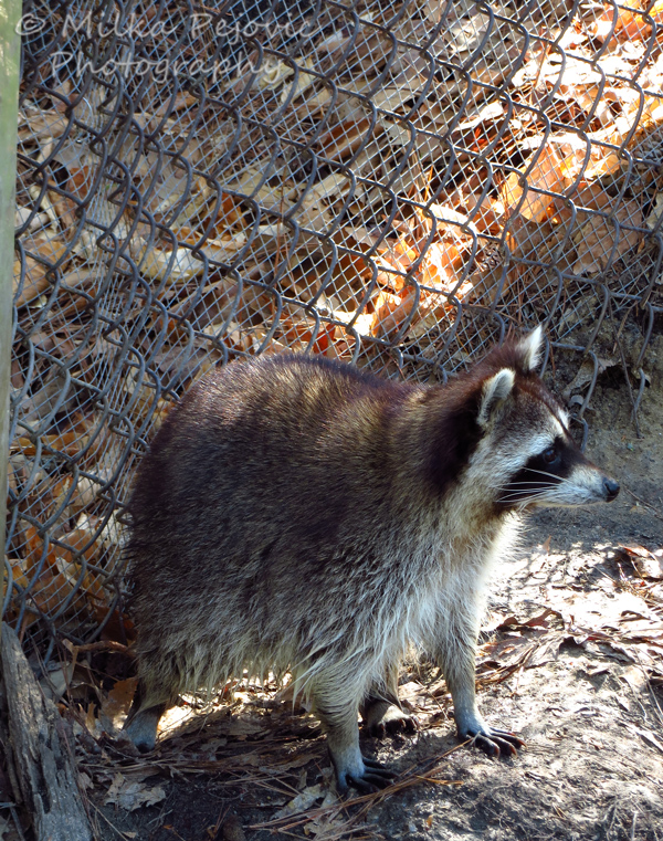 Raccoon standing still