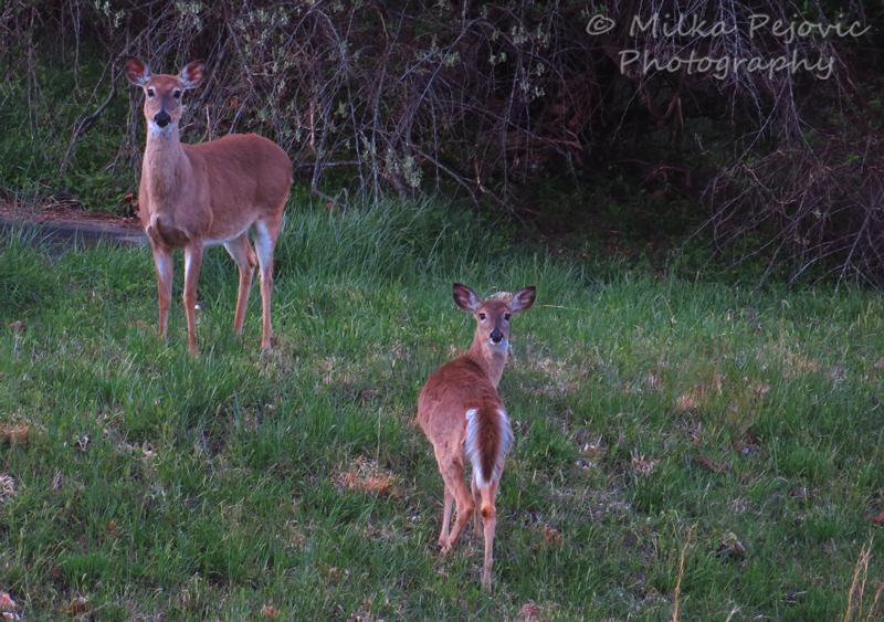 Two deer in Virginia