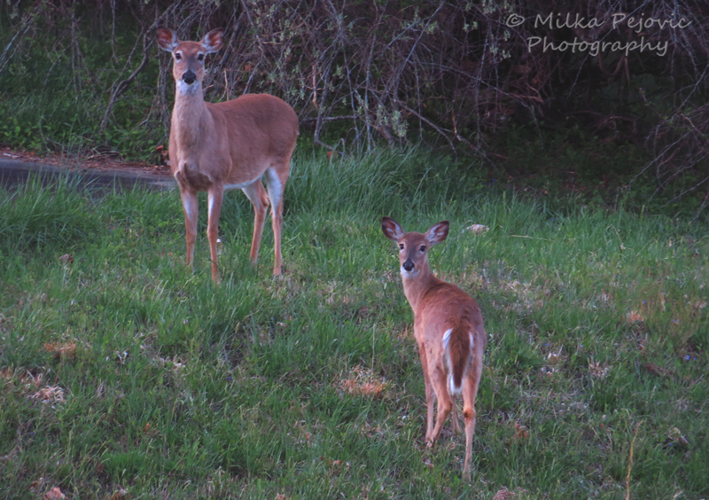 Deer standing in the grass and trees in Virginia