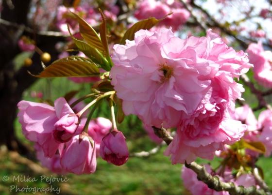 Dwarf almond tree pink blossoms