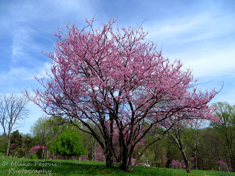 Eastern red bud tree in bloom
