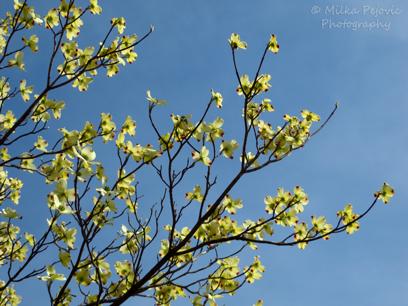 Yellow dogwood tree blossoms