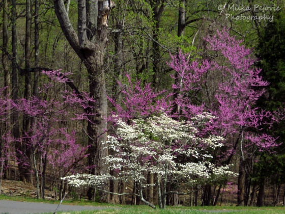 Easter red bud tree and white dogwood tree blossoms