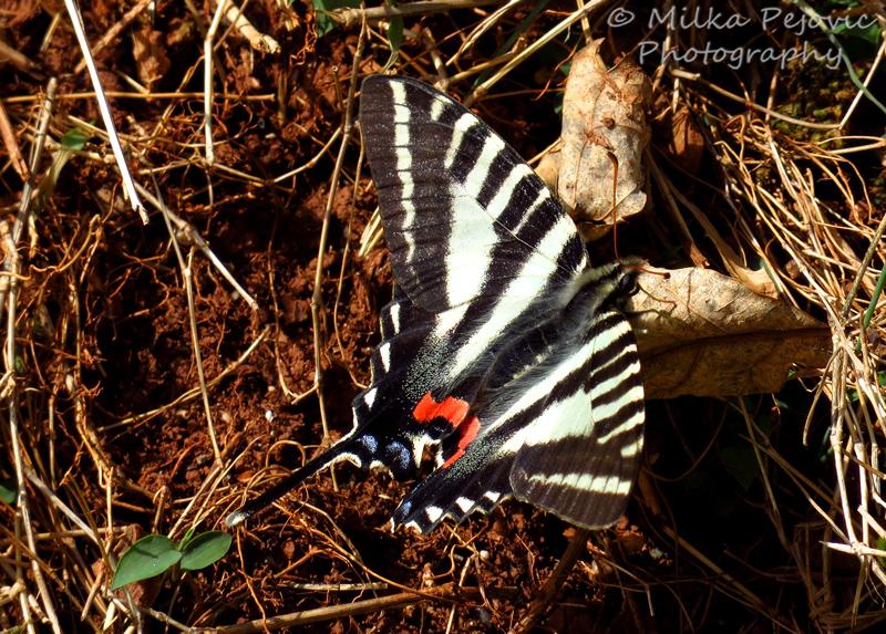 Macro Monday: my first zebra swallowtail butterfly