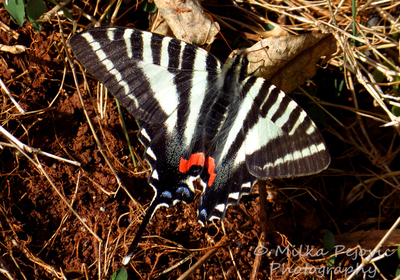 Close-up of a zebra swallowtail butterfly