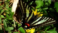 Macro Monday: my first zebra swallowtailbutterfly