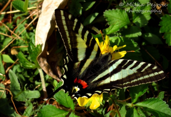 Zebra swallowtail butterfly on yellow buttercup
