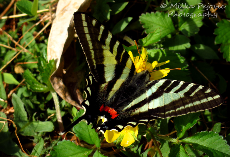 Zebra swallowtail butterfly on yellow buttercup