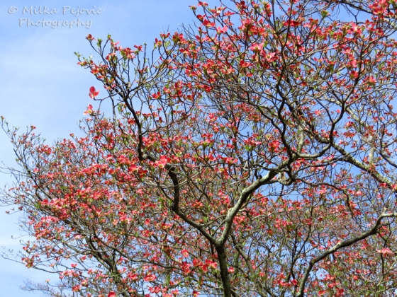 Floral Friday Fotos: Red dogwood tree blooms