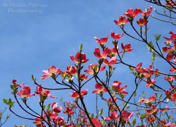 Red dogwood tree blossoms