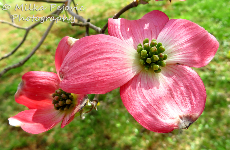 Dogwood tree - red blossoms