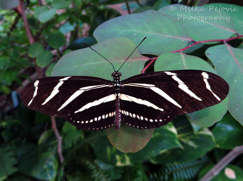 Zebra longwing butterfly with striped wings