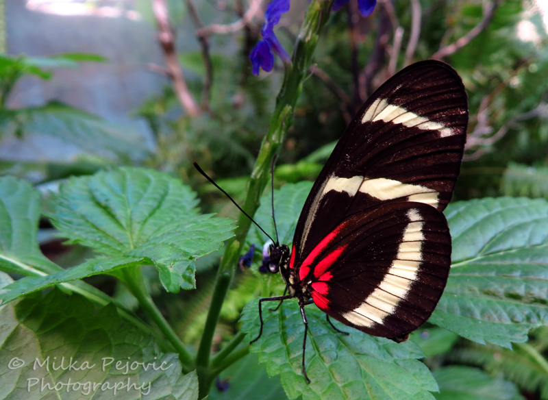Zebra longwing butterfly with red dots underneath its wings